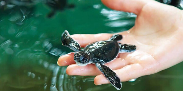 Hold baby turtles at the Turtle Hatchery in Galle